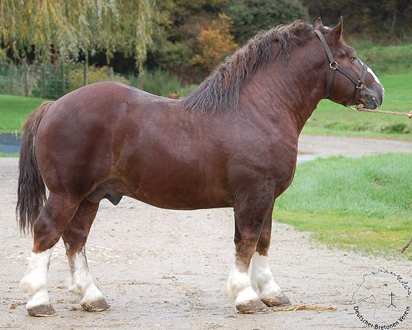Breton-stallion-mive-This-breed-is-built-closer-to-the-ground-shorter-legs-mean-a-lower-cent-wallpaper-wp5005447