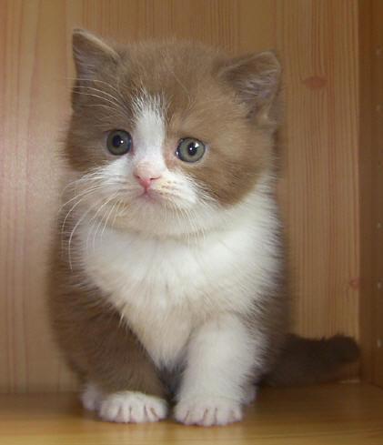 British-Short-Hair-Cinnamon-Cats-cinnamon-self-Farberkl%C3%A4rung-Katze-cat-kat-poes-katt-felis-c-wallpaper-wp424253-1