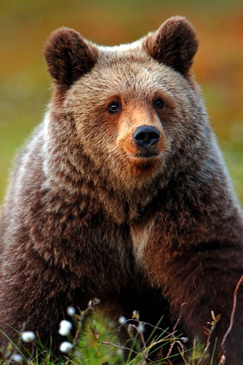 Brown-bear-animals-wildanimals-wallpaper-wp4604449-1