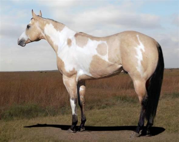 Buckskin-Paint-Horse-wallpaper-wp4804925