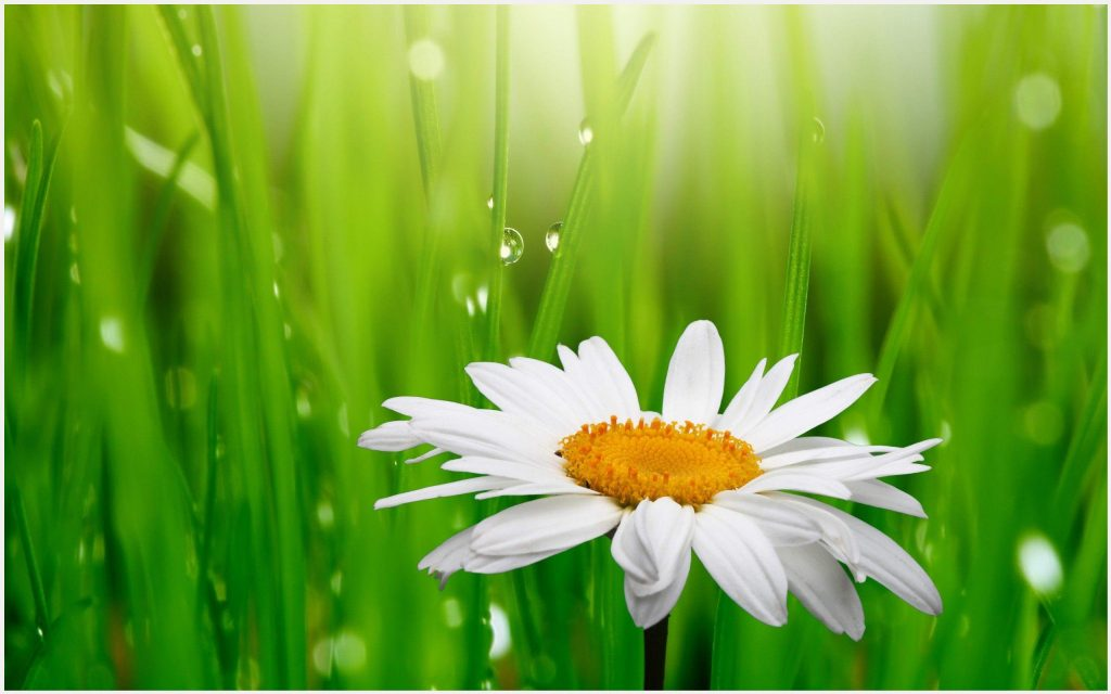 Camomile-White-Flower-Green-Grass-Background-camomile-white-flower-green-grass-background-desktop-wallpaper-wp3403701