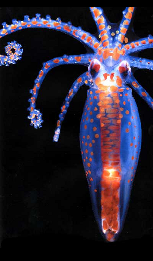 Cephalopod-planktonic-Octopus-paralarva-wallpaper-wp4604615