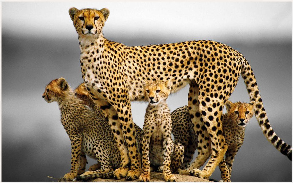 Cheetah-Animal-Family-cheetah-animal-family-1080p-cheetah-animal-family-wallp-wallpaper-wp3403849