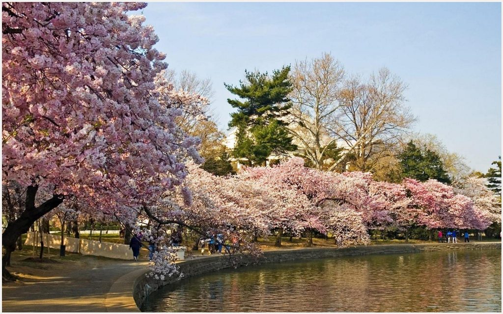 Cherry-Blossom-Trees-Canal-View-cherry-blossom-trees-canal-view-desktop-cherry-blossom-wallpaper-wp3403858