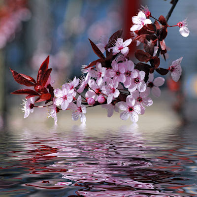 Cherry-blossoms-reflected-in-the-river-Decorative-cherry-tree-blossoms-above-water-with-reflection-wallpaper-wp3004323