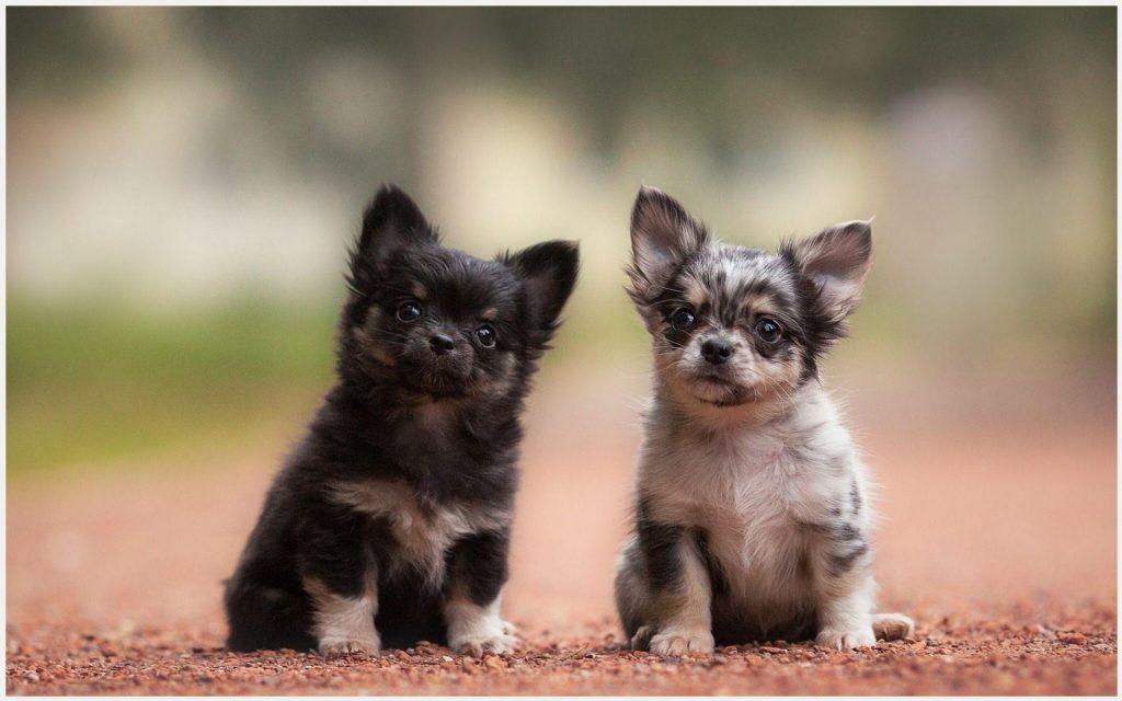 Chihuahuas-Cute-Puppies-chihuahuas-cute-puppies-1080p-chihuahuas-cute-puppies-wallpaper-wp3403881