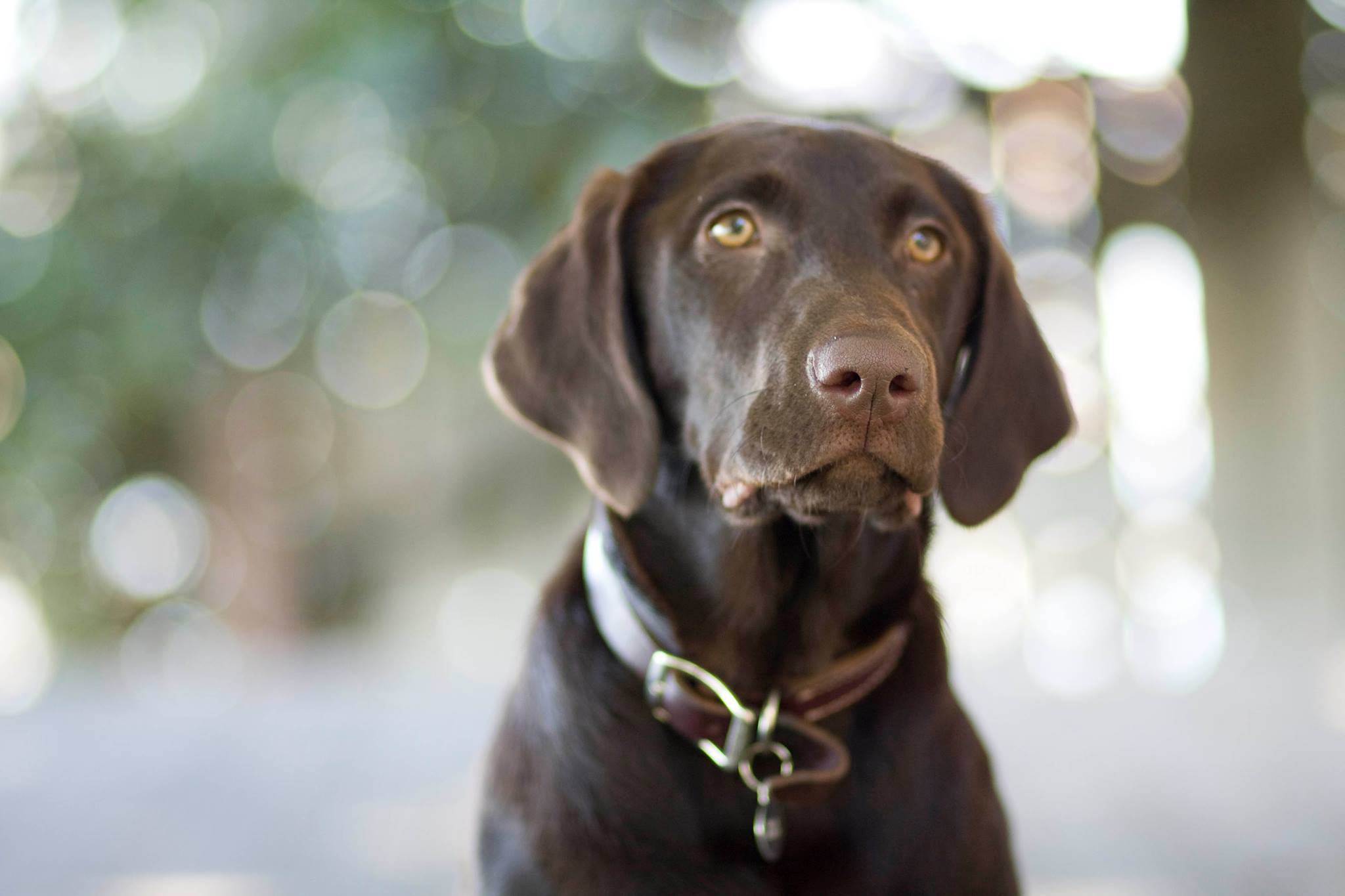 Chocolate-Lab-Puppy-Melissa-Gray-Photography-wallpaper-wp5205177