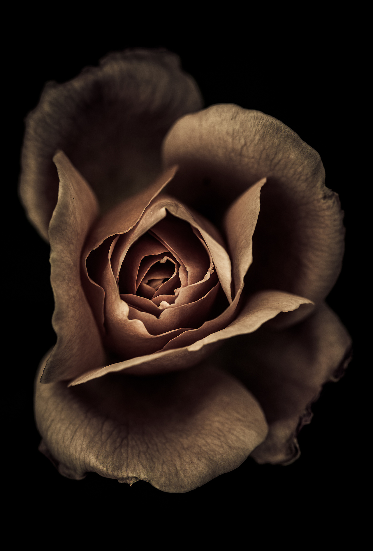 Chocolate-Rose-Black-background-wallpaper-wp4805249