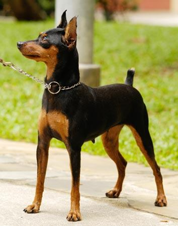 Classic-Min-Pin-Pose-I-DO-NOT-agree-with-cropping-the-ears-or-tail-of-any-breed-I-wish-the-AKC-and-wallpaper-wp4604867-1