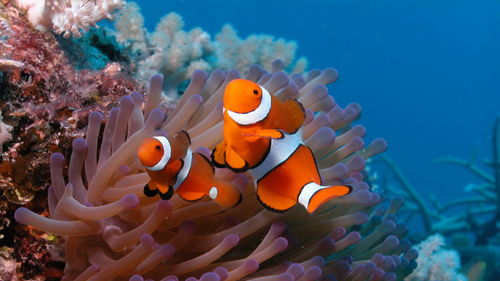 Clownfish-wallpaper-wp3403957