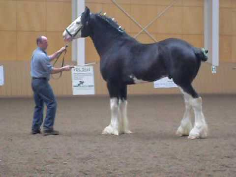 Clydesdale-stallion-at-Pineland-farm-New-Gloucester-Maine-first-annual-show-wallpaper-wp5006151