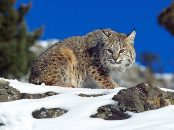 Cold-Stare-Bobcat-wallpaper-wp6002742