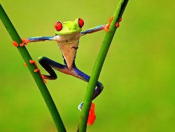Colorful-Frog-Frogs-Animals-High-Resolution-Widescreen-wallpaper-wp4405931
