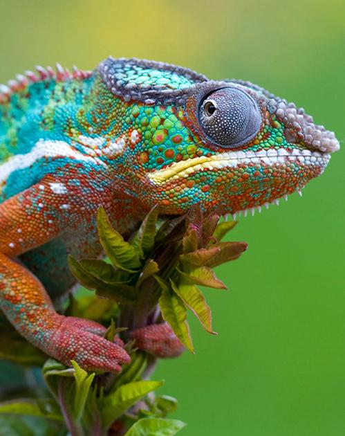Colorful-Lizards-Animals-desktop-Download-anim-wallpaper-wp3004509