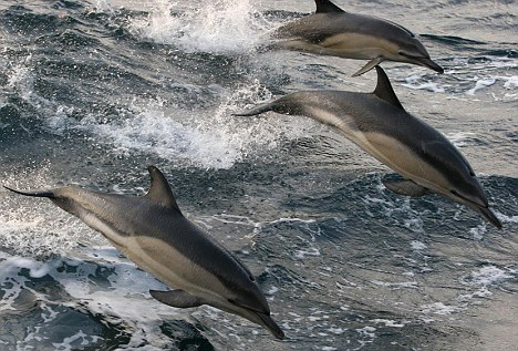 Common-Animals-in-Nigeria-Threat-Common-dolphins-seen-off-the-Cornish-coats-Wildlife-experts-wallpaper-wp3004529