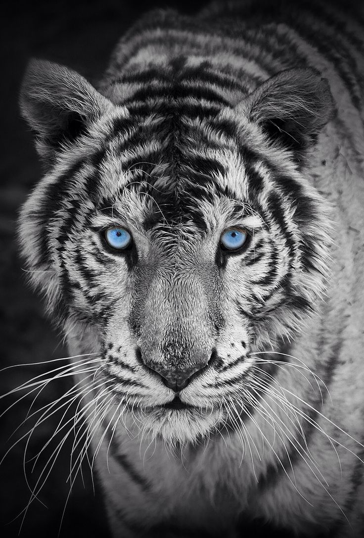 Cool-animal-background-animal-backgrounds-Pinterest-Tigers-wallpaper-wp3404115