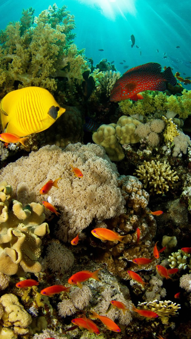 Coral-Reef-Fish-iPhone-s-Enjoy-it-and-get-more-here-http-www-ilike-net-wallpaper-wp5205382