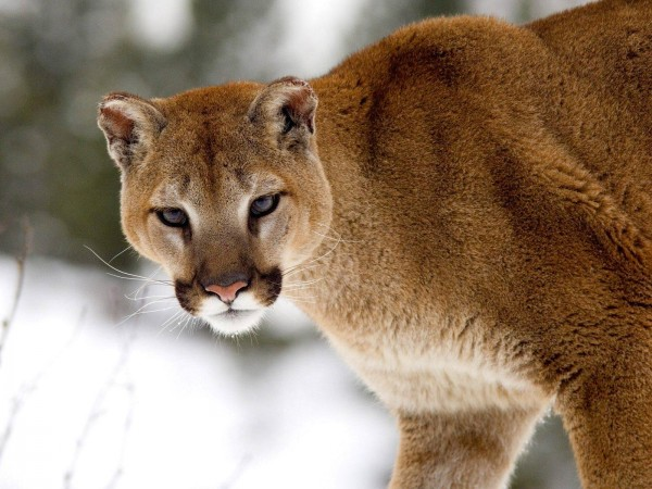 Cougar-in-Winter-Montana-wallpaper-wp6002800