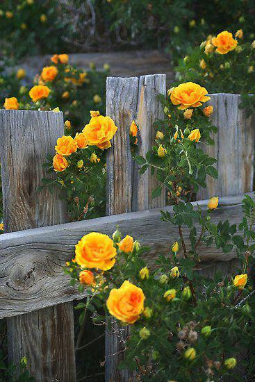 Country-Roses-wallpaper-wp5404265