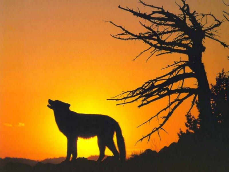 Coyote-wallpaper-wp3004601
