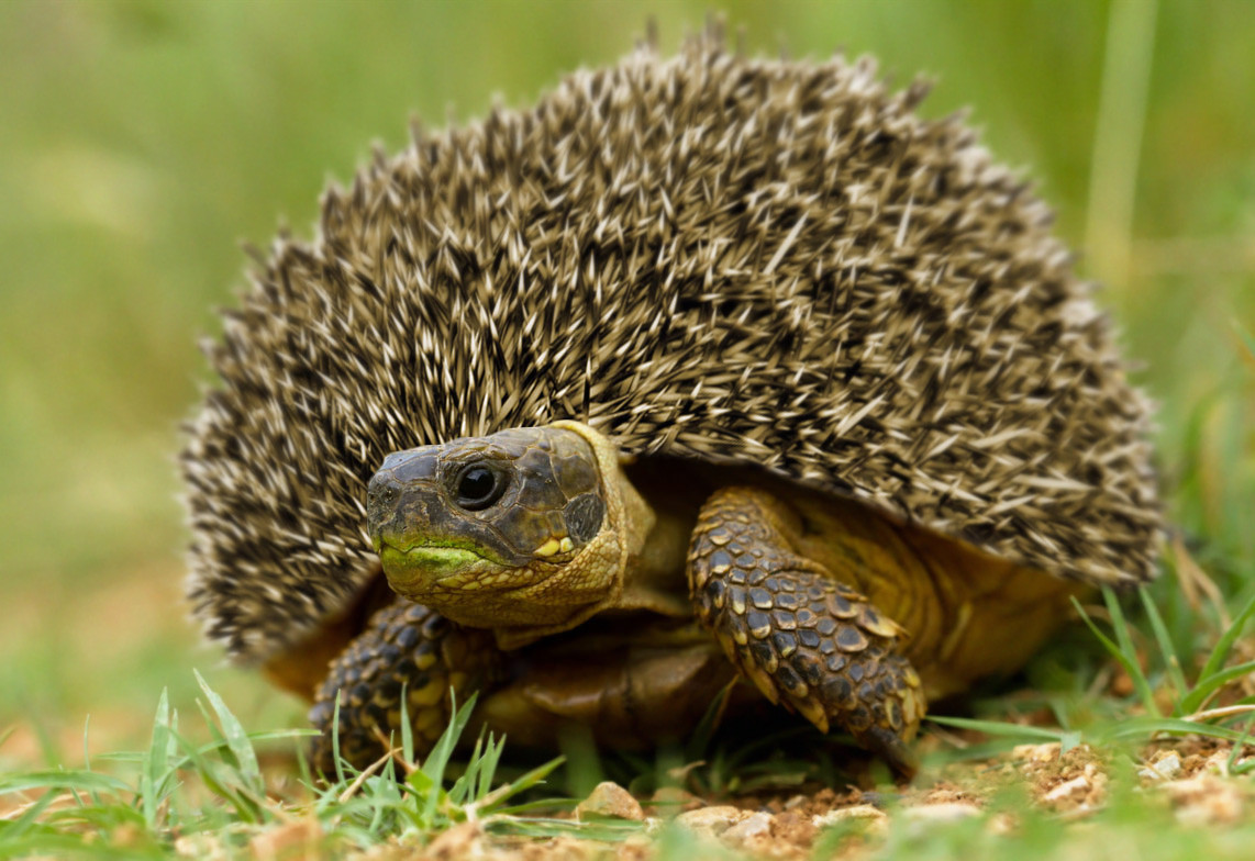 Critically-endangered-Madagascar-hedgeturtle-Most-of-these-animals-are-killed-by-non-nati-wallpaper-wp4406079