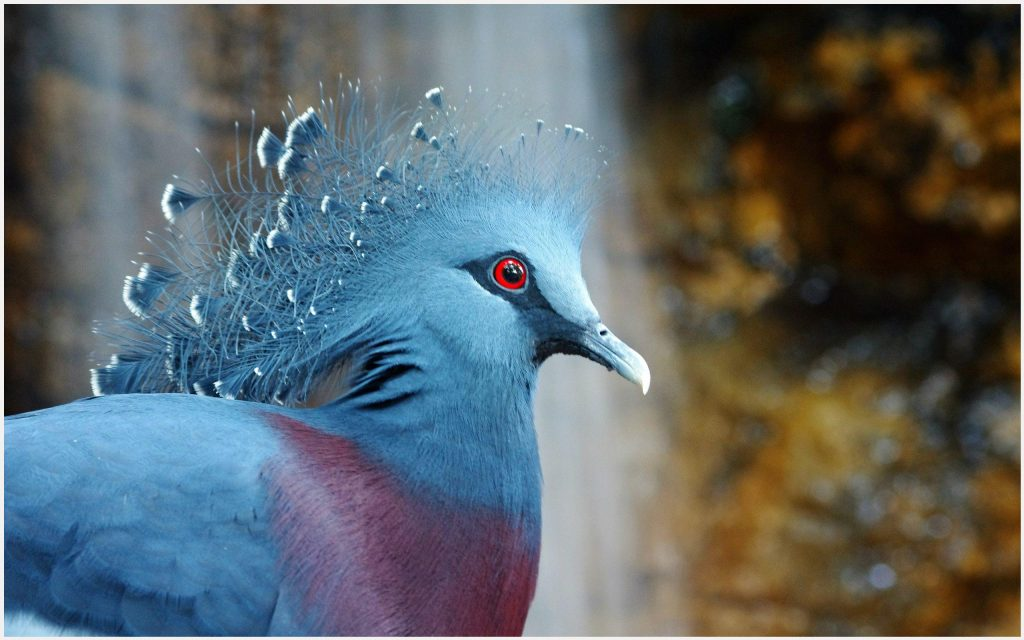 Crowned-Pigeon-Beautiful-Bird-crowned-pigeon-beautiful-bird-1080p-crowned-pig-wallpaper-wp3604418