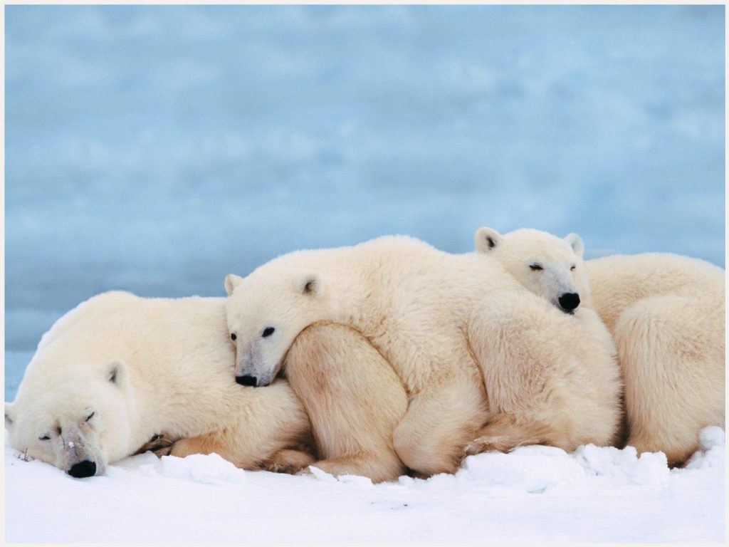Cute-Bears-Sleeping-HD-cute-bears-sleeping-hd-1080p-cute-bears-sleeping-hd-wa-wallpaper-wp3604449
