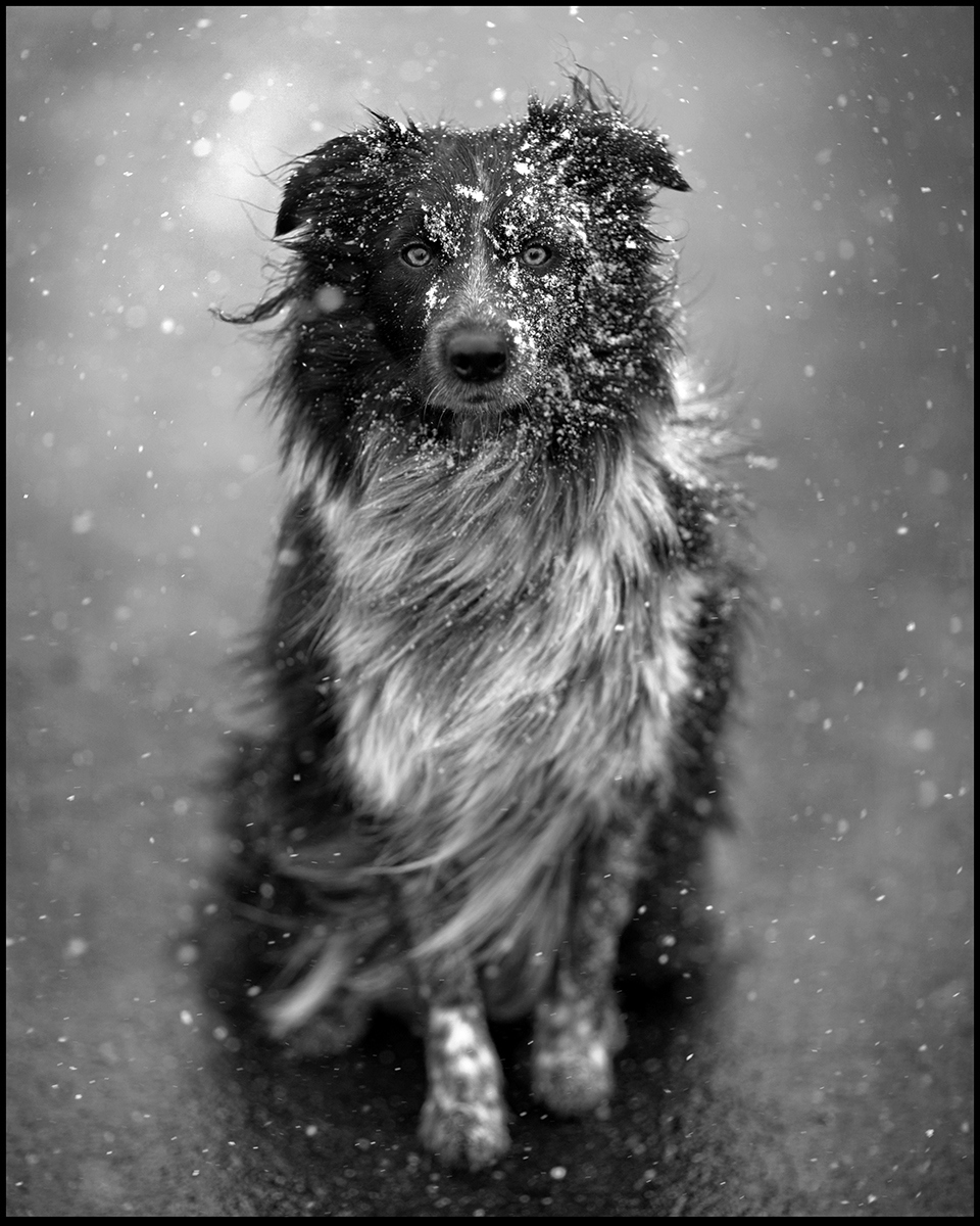 Cute-dog-in-a-snow-storm-Animal-pictures-wallpaper-wp4403463