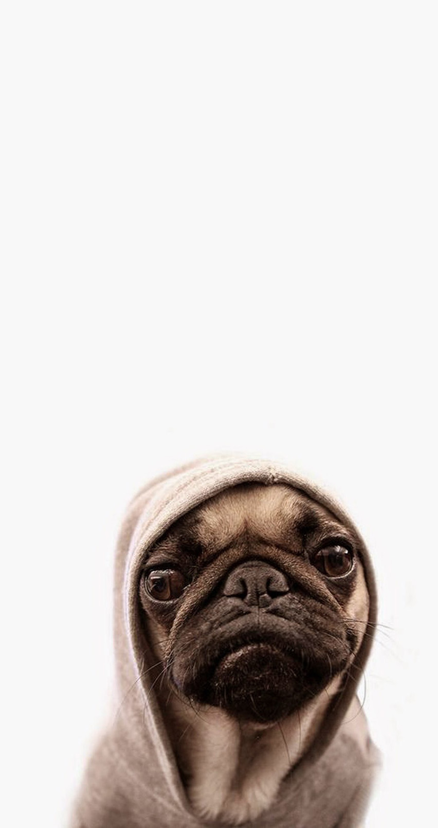 Cute-pug-Tap-for-more-Cute-Pug-Dog-HD-@mobile-for-iPhone-s-and-iPhone-wallpaper-wp3004715