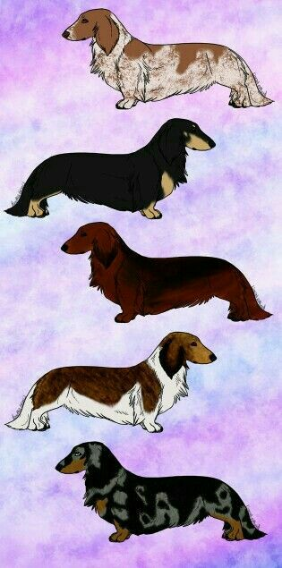 Dachshund-wallpaper-wp4002191
