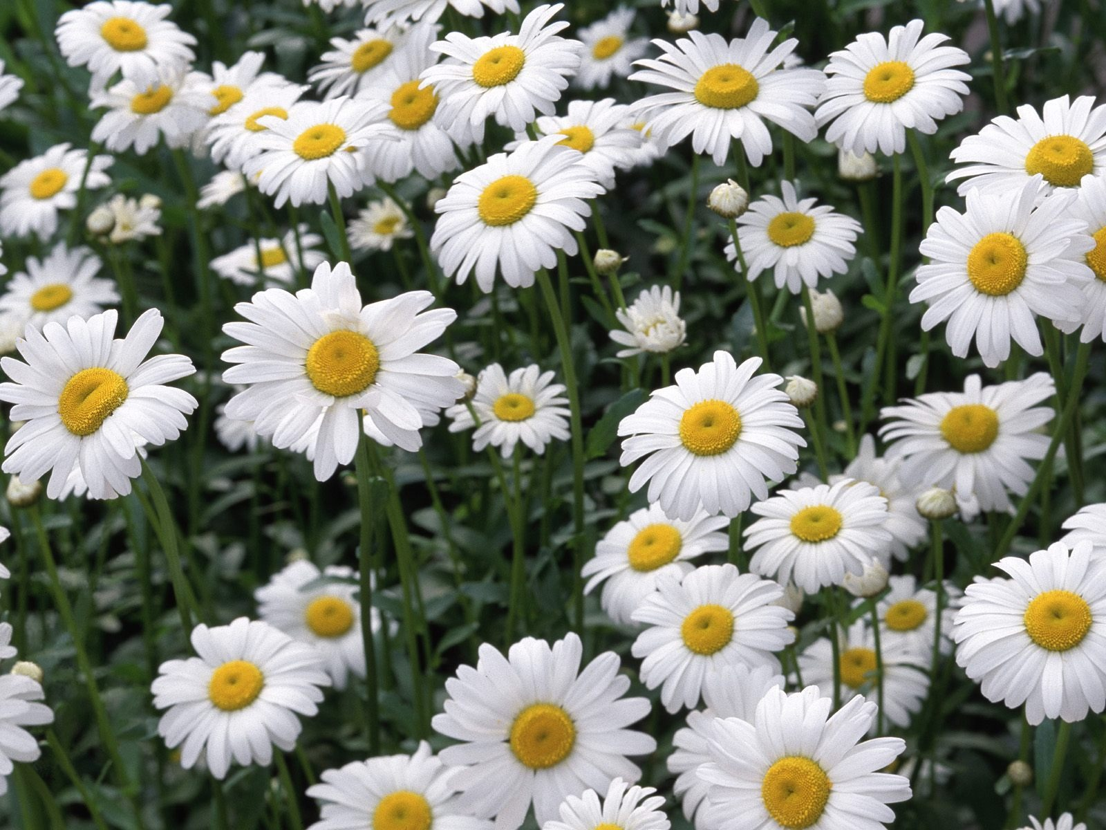 Daisies-by-Maximilian-Meyer-on-FL-Flowers-HDQ-KB-wallpaper-wp3404407