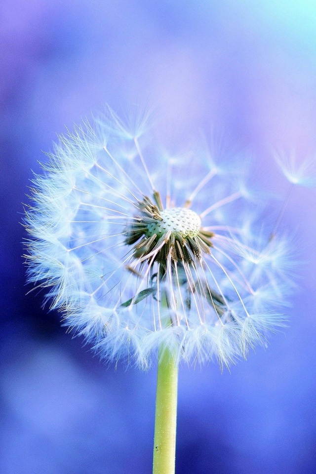 Dandelion-Best-HD-Pics-of-Dandelion-FHDQ-Dandelion-wallpaper-wp3604564