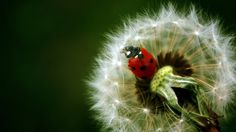 Dandelion-and-ladybug-1920x1080-1920%C3%971080-wallpaper-wp3604553