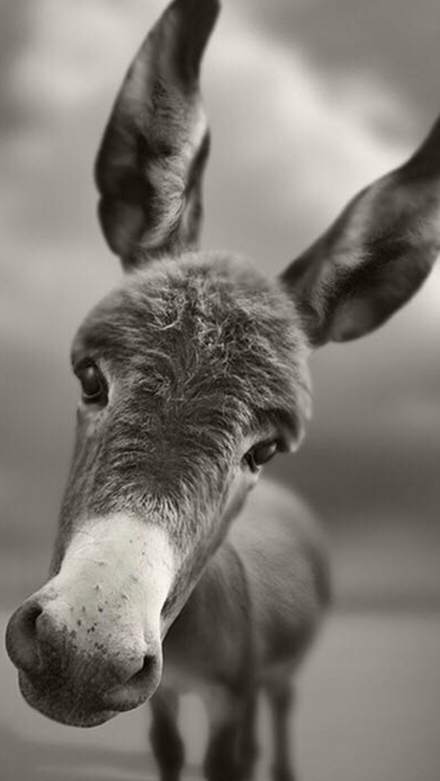 Dark-Mule-Pet-Animal-Macro-Grayscale-iPhone-s-wallpaper-wallpaper-wp4805770