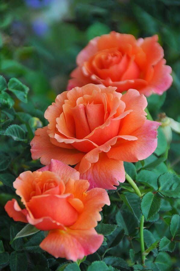 Dark-Peach-Roses-beautiful-flowers-garden-wallpaper-wp5404397