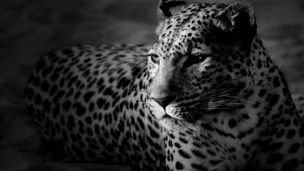 Dark-Widescreen-Tiger-wallpaper-wp6002906