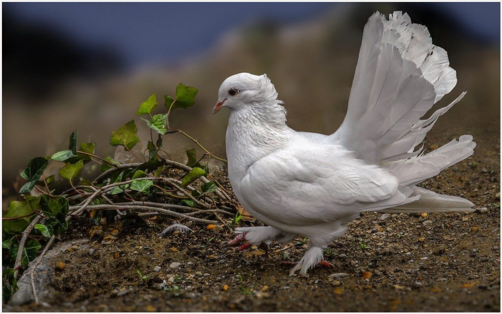 Dove-Pigeon-Bird-dove-pigeon-bird-1080p-dove-pigeon-bird-desktop-d-wallpaper-wp3604951