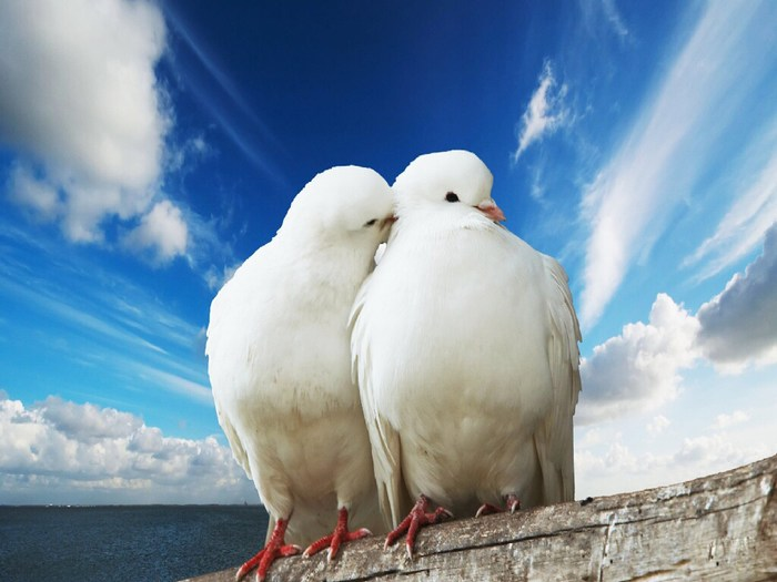 Dove-love-doves-bird-white-wallpaper-wp6003019