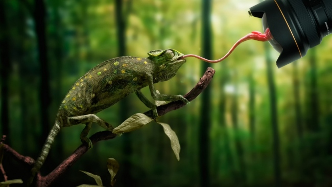 Download-1920x1080-HD-chameleon-tongue-close-up-branch-forest-Desktop-Backgrounds-HD-wallpaper-wp3404767