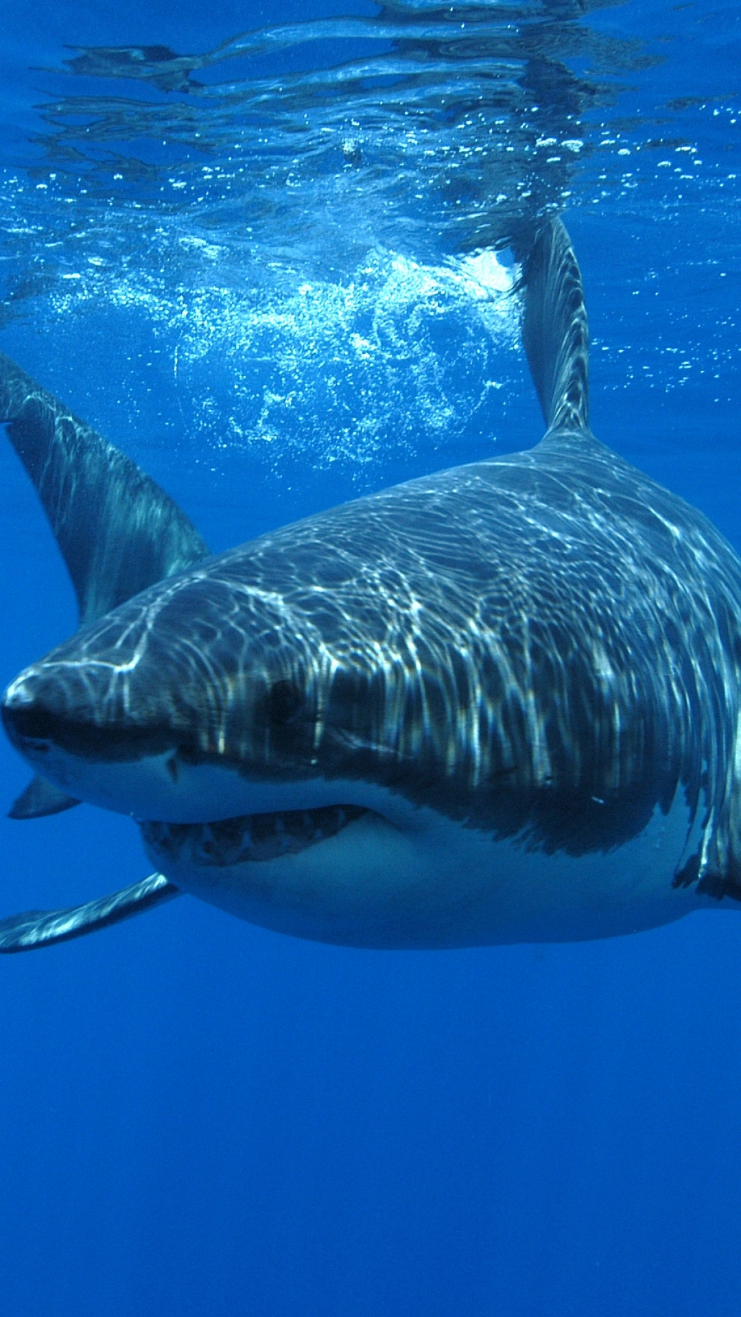 Download-this-iPhone-Plus-Animal-Great-White-Shark-1080x1920-for-all-your-Phones-and-wallpaper-wp3404917