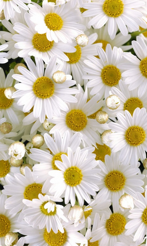Download-x-%C2%ABDaisy%C2%BB-Cell-Phone-Category-Flowers-wallpaper-wp425017-1