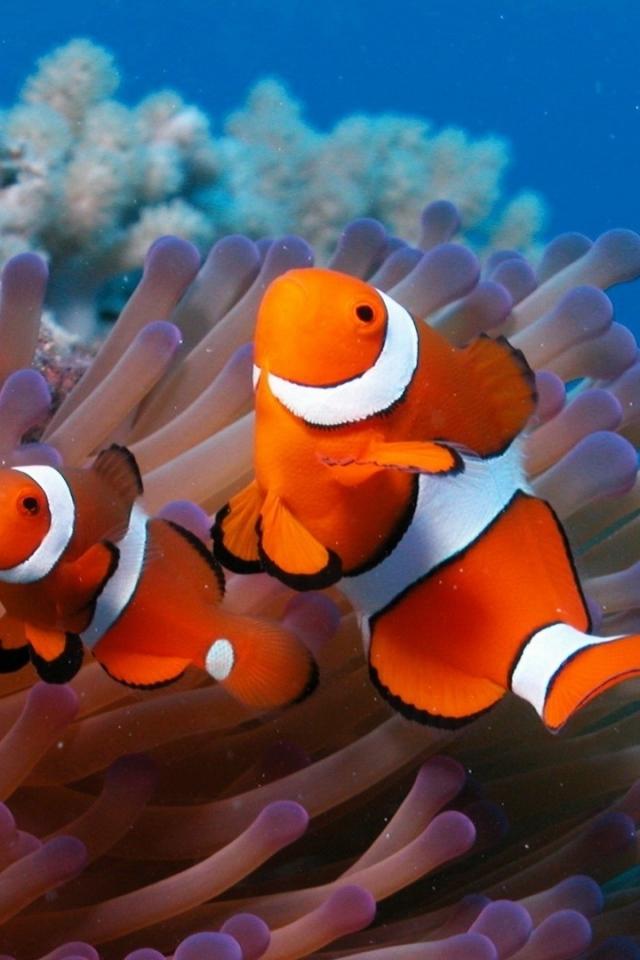 Download-x-sea-reef-coral-fish-sea-anemones-clown-HD-background-wallpaper-wp5205975