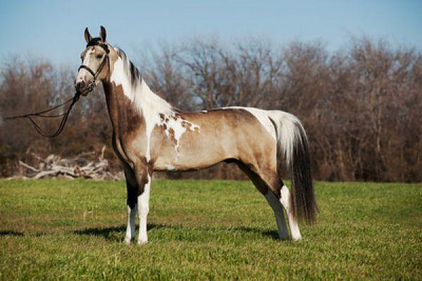 Dreaming-Of-El-Dorado-Buckskin-Saddlebred-Stallion-wallpaper-wp4806074