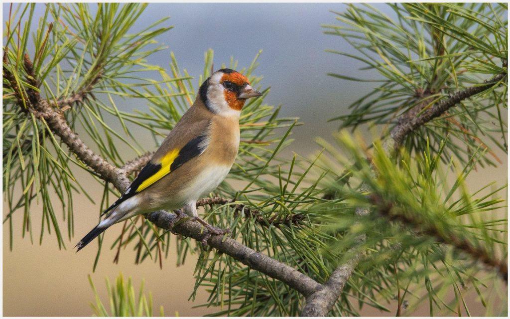 European-Goldfinch-Bird-european-goldfinch-bird-1080p-european-goldfinch-bird-wallpaper-wp3605402