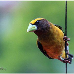 Evening-Grosbeak-Bird-evening-grosbeak-bird-1080p-evening-grosbeak-bird-wallp-wallpaper-wp360213