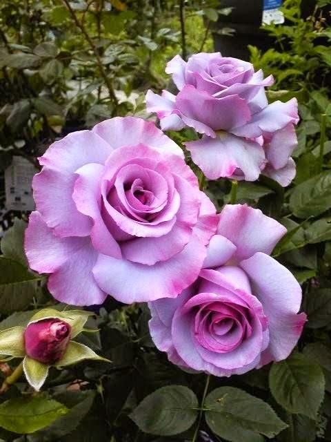 Floribunda-Rose-Dioressence-wallpaper-wp5405001