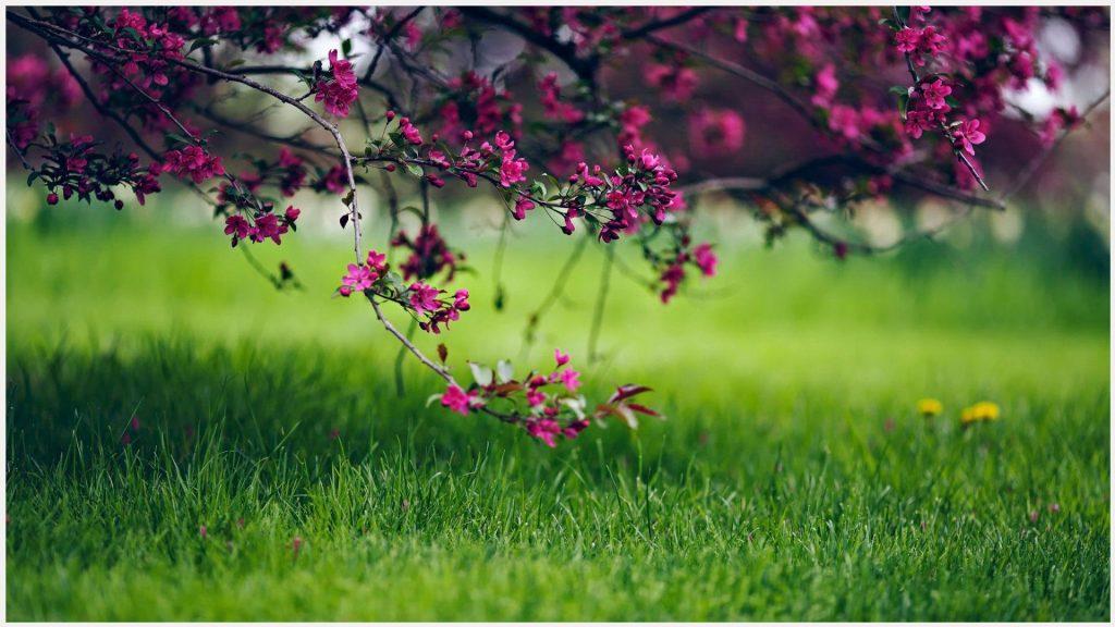 Flowering-Tree-In-Green-Field-flowering-tree-in-green-field-1080p-flowering-t-wallpaper-wp3405647