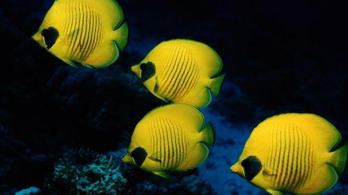 Four-Yellow-Fish-Underwater-Series-wallpaper-wp36039
