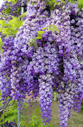 Fragrant-Wisteria-Thick-clusters-of-Wisteria-flower-buds-signal-the-arrival-of-spring-I-want-some-wallpaper-wp4407143