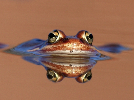 Frog-Eyes-Frogs-ID-Desktop-Nexus-Animals-wallpaper-wp4407258